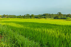 Landscape  green rice fields Royalty Free Stock Image