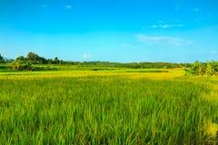 Landscape  green rice fields Stock Photos