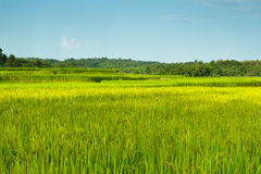 Landscape  green rice fields Royalty Free Stock Images