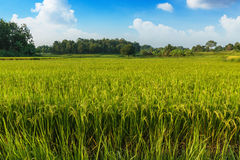 Landscape  green rice fields Royalty Free Stock Photography