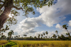 Landscape green rice fields. At thailand Royalty Free Stock Photos
