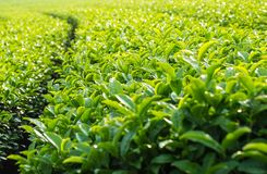 Landscape of green tea plantation,Leaves background texture. With sunshine Royalty Free Stock Images
