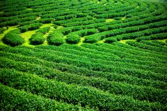 Landscape of green tea plantation,Leaves background texture Royalty Free Stock Photo
