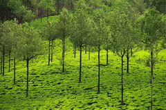 Landscape of green tea plantations. Munnar, India Stock Image