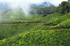 Landscape of green tea plantations. Munnar, India Royalty Free Stock Photography