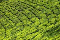 Landscape of green tea plantations. Munnar, Kerala, India Stock Image