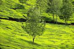 Mountain Landscape Tea Plantations Stock Photos, Images, & Pictures ...
