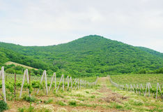 Landscape with green vineyard's rows Royalty Free Stock Images