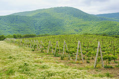 Landscape with green vineyard's rows Royalty Free Stock Photos