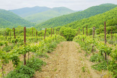 Landscape with green vineyard's rows Stock Images