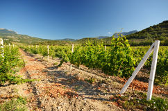 Landscape with green vineyards Royalty Free Stock Photography