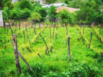 Landscape with green vineyards. A young vine grows in a field on a slope Stock Photography