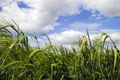 landscape of green wheat field Stock Photo