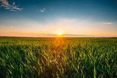 Landscape Of Green Wheat Field Under Scenic Summer Dramatic Sky Royalty Free Stock Images