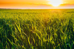 Landscape Of Green Wheat Field Under Scenic Summer Dramatic Sky Stock Photo