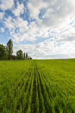 Landscape of green wheat field. Young green wheat field on a background of the blue sky, many white clouds and line of trees Royalty Free Stock Photos