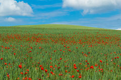 Landscape with green wheat with red poppy Stock Photo