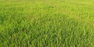 The landscape of green young rice fields royalty free stock photography