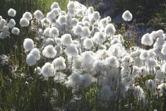Landscape in Greenland. Cottongrass - Qasigannguit - formerly Christianshab - Greenland Stock Photo