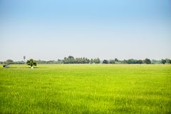 Landscape of growing green rice field in wide area with sun light. Effected in blue sky Royalty Free Stock Photos