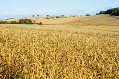 Landscape at harvest time. Royalty Free Stock Photo