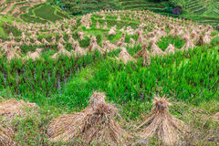 Landscape with hay stacks drying on rice fields Royalty Free Stock Photo