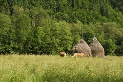 Rural landscape with haystacks and cows grazing. Landscape with haystacks and cows grazing at the edge of the forest and grass in the foreground stock photography