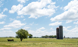 Landscape of the Heartland. Landscape with a couple of cows grazing in a rural pasture of green grass next to a tree being blown by the wind, and a couple of Stock Photos