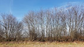 A landscape with a hedge wall in North Germany in spring. A Kink or Hedged bank in German: Knick is a woody overgrown, mostly artificially built earth or stone Royalty Free Stock Images