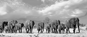 Landscape of a Herd of African Elephants walking across the savannah in black & white. Panorama of a family herd of elephants walking across the golden sunlit stock photos