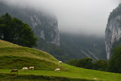 Landscape-Herd of cows in the Pyrenees-France Stock Images