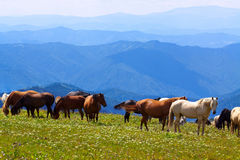 Landscape with  herd of horses Stock Image