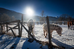 Landscape of highland field at winter with pasturing horses Royalty Free Stock Images