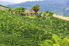 Coffee Plants and Small House royalty free stock image
