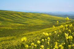 Landscape  hills with yellow flowers Stock Photo