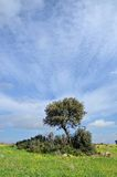 Landscape and holm oak Royalty Free Stock Images