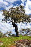 Landscape with holm oak tree Stock Image