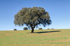 Landscape with holm oak trees Stock Photos