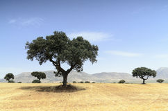 Landscape with holm oak trees Royalty Free Stock Photo