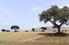 Landscape with holm oak trees Royalty Free Stock Image