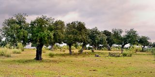 Landscape with holm oaks trees (panoramic view) Royalty Free Stock Photo