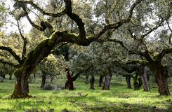 Landscape with holm oaks trees Royalty Free Stock Photo