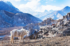Landscape with horse from Nepal, Tibet. Beautiful landscape from Nepal, Tibet, white horse and Himalayan mountains, Annapurna circuit stock images