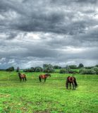 Landscape with horses. Grazing, HDR processed colours Royalty Free Stock Images
