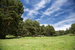 Landscape with horses in Gredos Royalty Free Stock Images
