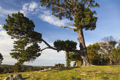 Landscape with a huge pine tree. Bingie. Australia. Royalty Free Stock Image