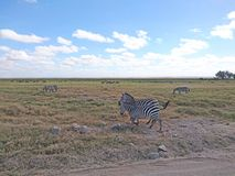Landscape image background with zebras. Landscape image for background use on devices or designs with implemented text stock photos