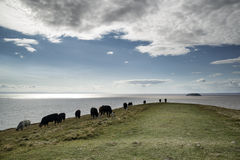 Landscape image of cows grazing on edge of cliff on Summer day Stock Photography