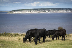 Landscape image of cows with Weston-Super-Mare in distant backgr Royalty Free Stock Photo