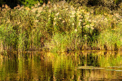Landscape image of a small river reedy and old trees. A Landscape image of a small river reedy and old trees Royalty Free Stock Images